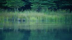Beaver swimming in river near Schwabachers Landing - stock footage