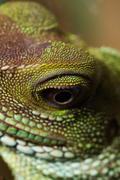 Stock Photo of Head and eye of an adult agama (Physignathus cocincinu)
