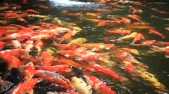 Koi fishes feeding in a pond. Close up. HD. 1920x1080 Stock Footage