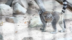 Ring tailed lemur with his child in park. HD. 1920x1080 Stock Footage