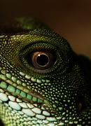 Agama (eye macro) - stock photo