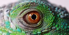 Iguana eye Stock Photos