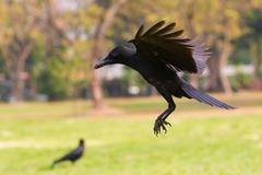 Black birds crow flying (howering)  on mid air prepare to landing to ground Kuvituskuvat