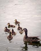 Mother Duck and Ducklings Stock Photos