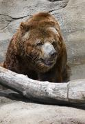 Bear Near a Log Stock Photos
