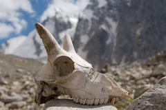 mountain goat skull - stock photo