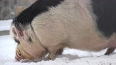 A male, domestic pig-wild boar . Stock Footage