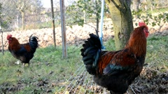 Two roosters - stock footage