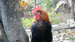 Rooster asleep standing Stock Footage