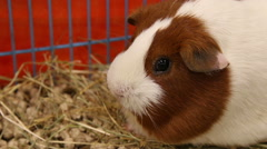 Guinea pig portrait Stock Footage