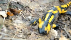 Salamander is running in the forest Stock Footage