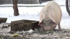 View of a big pig on a farm Stock Footage