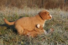 Amazing puppy of nova scotia playing in soft rime - stock photo