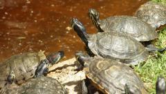 Loggerhead Turtles Tortoise Sunlight Dirty Water Waiting Concept Stock Footage