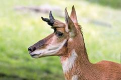 Pronghorn Profile - stock photo