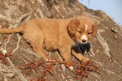 Amazing puppy of Nova Scotia on nature roots - stock photo