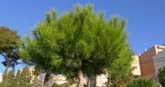 Tarragona city beautiful green pine close up 4k spain Stock Footage