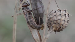 Stock Video Footage of COUPLING Mantis religiosa, abdomens