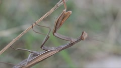 Stock Video Footage of Mantis, Mantis religiosa, Mantoidea, Green, brown, insect, predator,