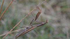 Mantis religiosa Stock Footage