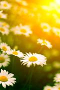 Daises in the Sun - stock photo