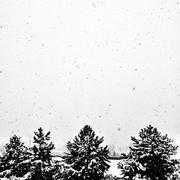 Snowy Tree Tops - stock photo