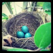 Robin Eggs in Nest - stock photo