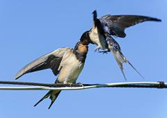 Adult swallow feeding fledglings, Russia Stock Photos