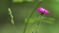 Large pink flower in the mountain forest, Macro shot HDR. Stock Footage