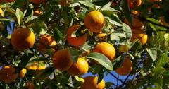 Full of mandarin tree close up sunny malaga 4k Stock Footage