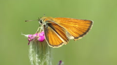 Orange butterfly eating nectar with their trunk from the flower, Small skipper Stock Footage