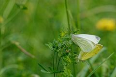Mating butterflies Stock Photos
