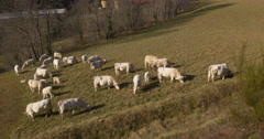 Mountain hill white cows on field 4k vall de nuria spain Stock Footage