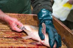 Gutting carp - stock photo