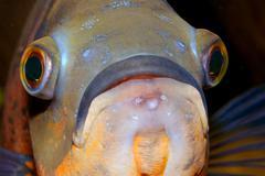 Portrait of oscar fish - stock photo