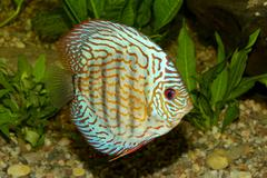 Blue discus fish - stock photo