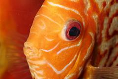 Discus fish portrait Stock Photos