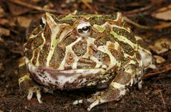 Argentine Horned Frog. Stock Photos