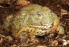 Pixie Frog - stock photo