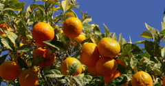 Full of mandarin tree in sunny malaga 4k Stock Footage