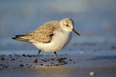 Portrait of adult sanderling (Calidris alba)walking along the b Stock Photos