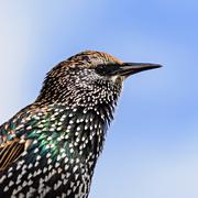 Portrait of a starling in winter plumage, Netherlands Stock Photos