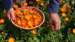 Gardener herbalist hand gathering marigold calendula  blossoms in wicker basket Stock Footage