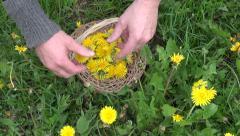 Pick harvesting  spring dandelion flower for healthy food Stock Footage