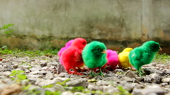 Small chicks - stock footage