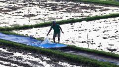 Harvesting of rice Stock Footage