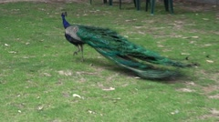 Peacock (Pavo, Afropavo) with tail feathers down toward the ground Stock Footage