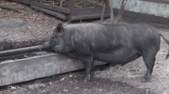 Pig (Sus Suidae) walking away from food trough Stock Footage