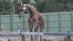 One Giraffe (Giraffa camelopardalis) eating as another Giraffe walks behind her Stock Footage