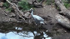 Brolga (Grus rubicunda) drinking water Stock Footage